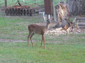 Deer..in the front yard.